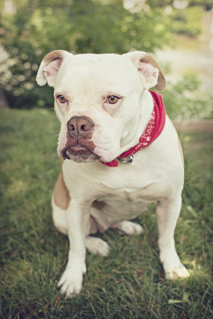 American Bulldog Rescue 501c3 Not For Profit Dog Rescue