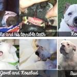 American Bulldog Rescue S.O.S.