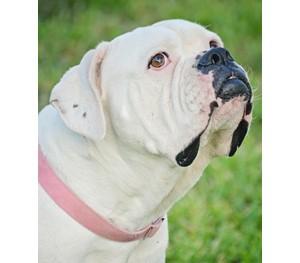 American Bulldog Rescue 501c3 Not For Profit Dog Rescue
