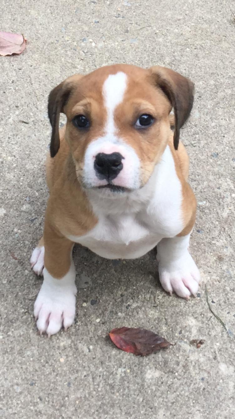 American Bulldog Rescue - 501C3 Not-for-Profit Dog Rescue